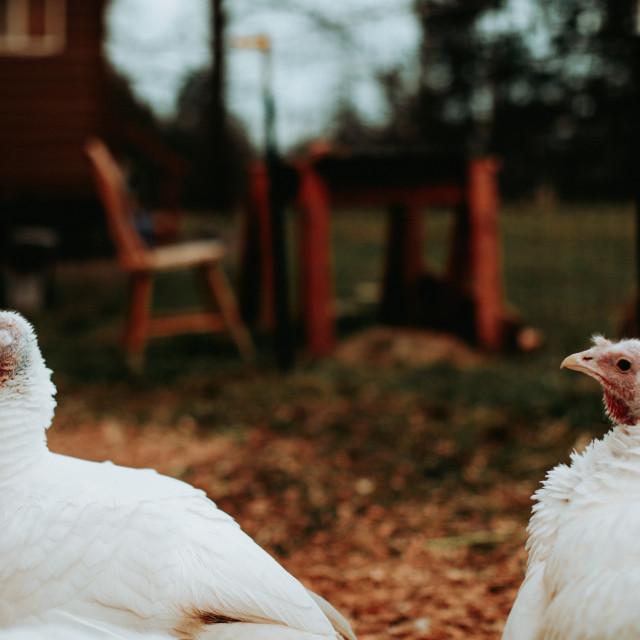 """Two Turkeys"" stock image"
