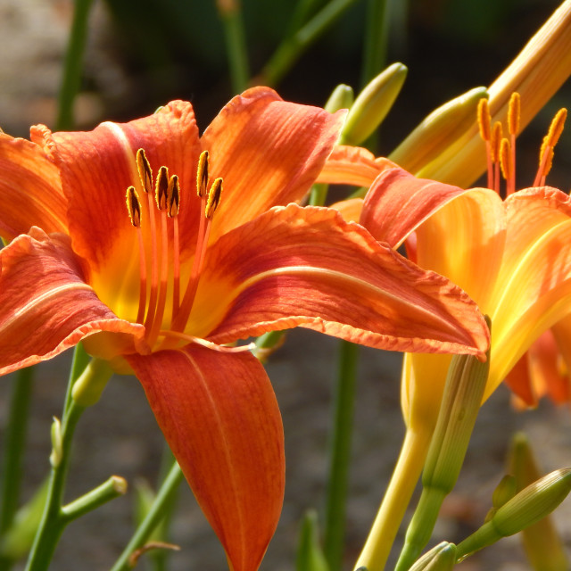 """""""Wild Tiger Lilies"""" stock image"""