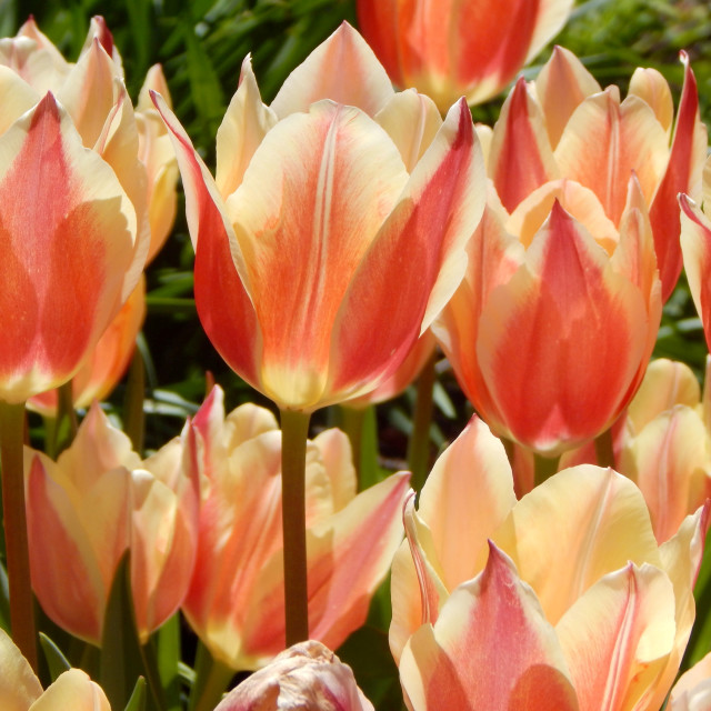 """""""A Bed of Variegated Tulips"""" stock image"""