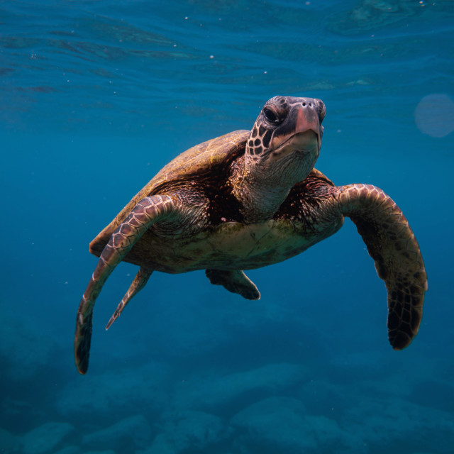 """Hawaiian Sea Turtle Close Up"" stock image"
