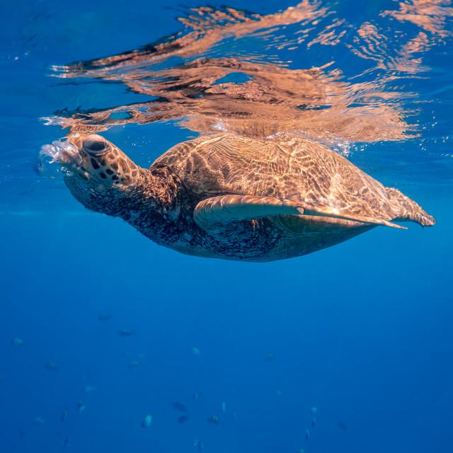"""Sea Turtle Taking a Breath"" stock image"