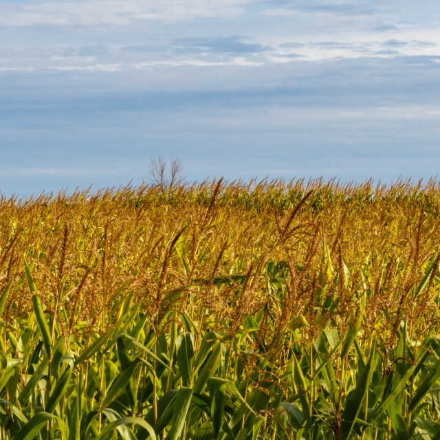 """Cornfield ready for harvest"" stock image"