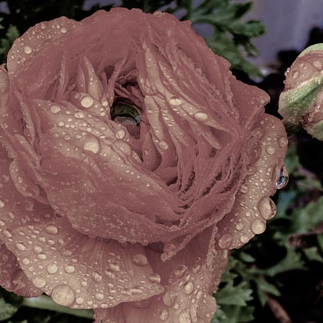 """Rain drops on flower"" stock image"