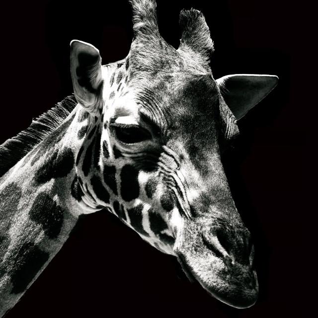 """Portrait of a Giraffe"" stock image"