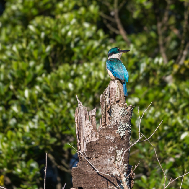 """New Zealand Sacred Kingfisher/kōtare Sitting on a broken Tree"" stock image"