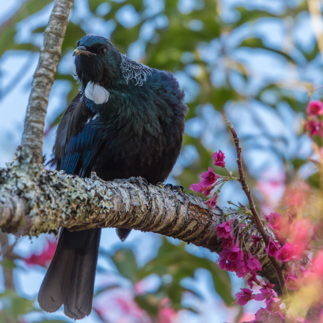 """The Tui (Prosthemadera novaeseelandiae) An endemic bird of New Zealand."" stock image"