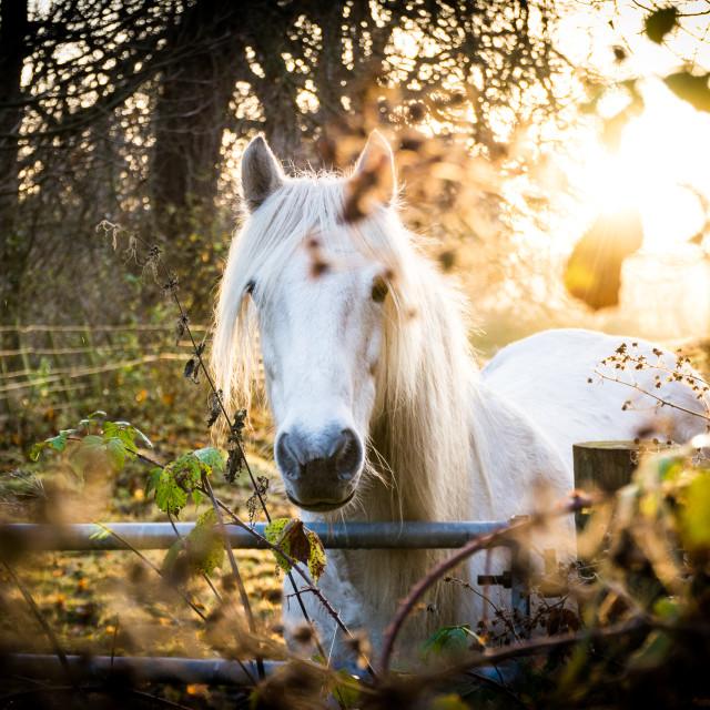 """""""Sunset Horse"""" stock image"""
