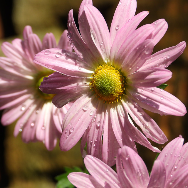 """Rain-kissed Pink Daisies"" stock image"