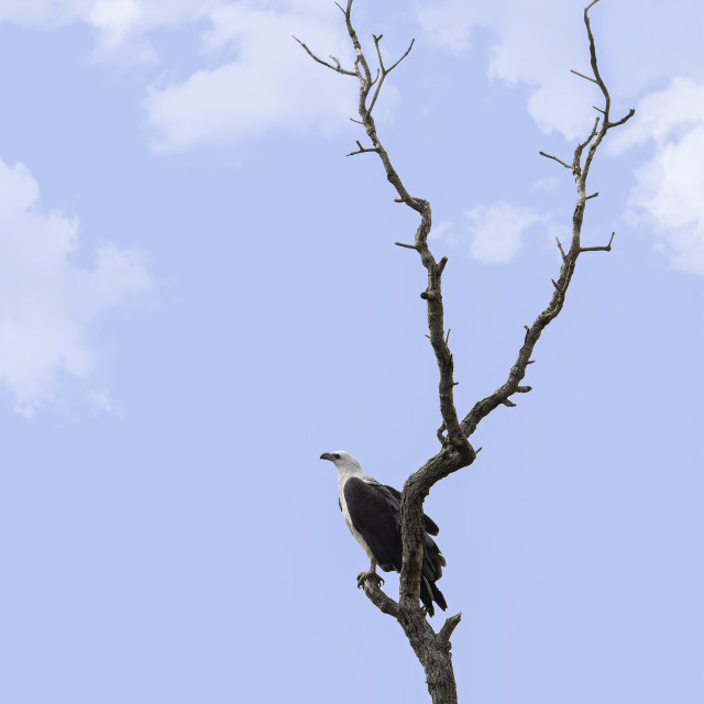 """""""A lonely White bellied sea eagle"""" stock image"""