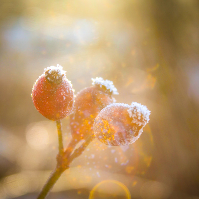 """Winter berries"" stock image"