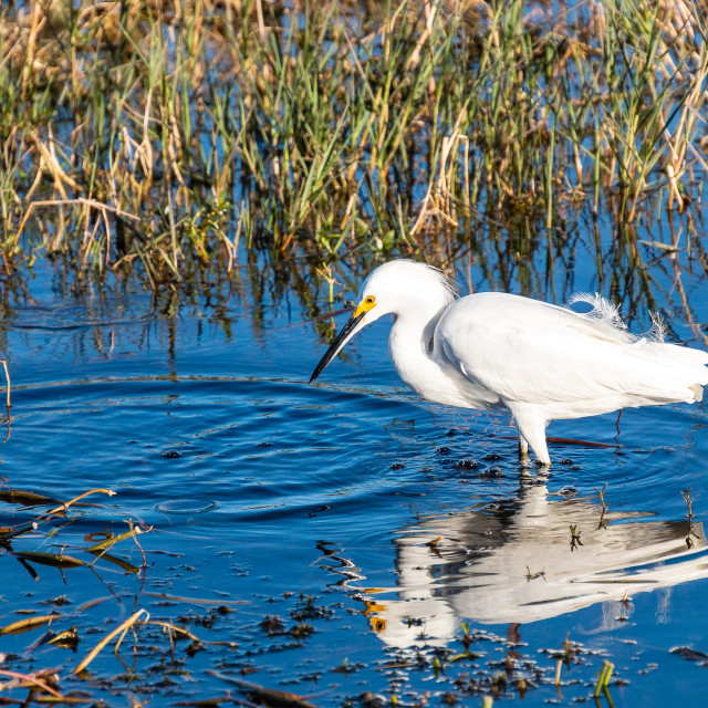 """Great Egret - Venetian Gardens Florida"" stock image"