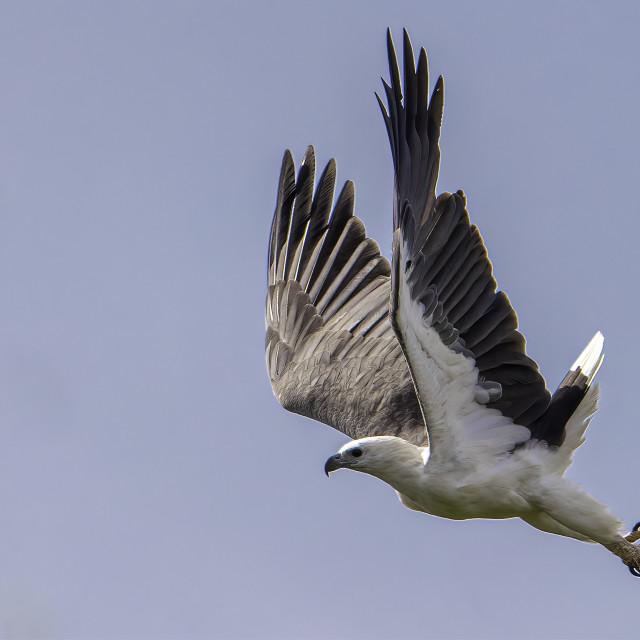 """White bellied sea eagle took off"" stock image"