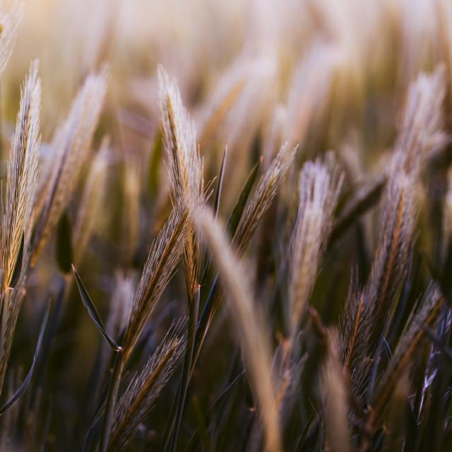 """""""Barley Field, Cambridge UK."""" stock image"""