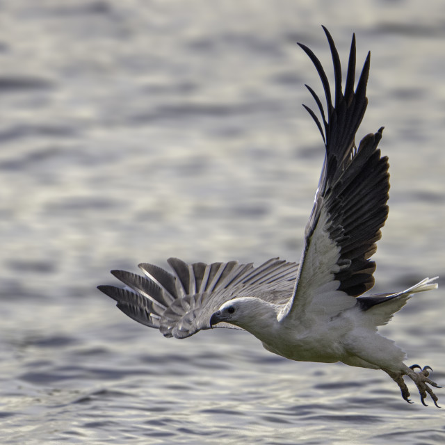 """""""Low flight of the white bellied sea eagle"""" stock image"""