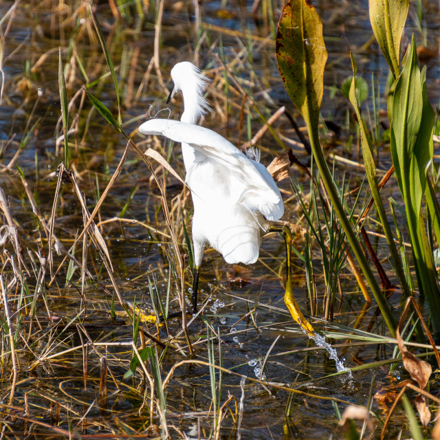 """Let The Games Begin Great Egret"" stock image"