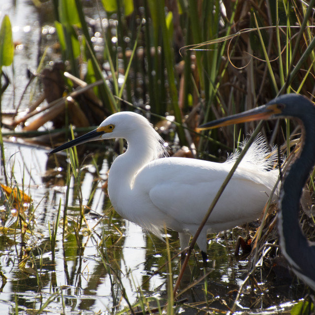 """Two Teenagers, A Great Egret And A Blue Heron"" stock image"