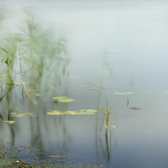 """Windy Reeds @ Llangorse"" stock image"