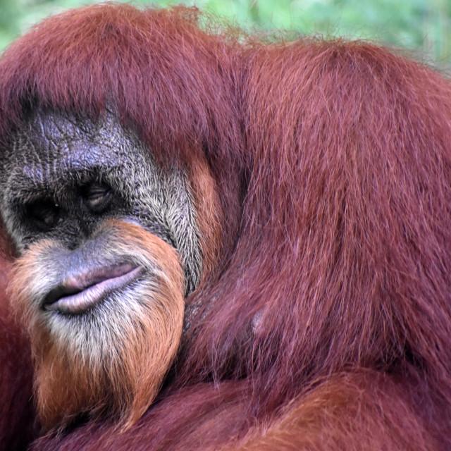 """A Lone Orangutan"" stock image"