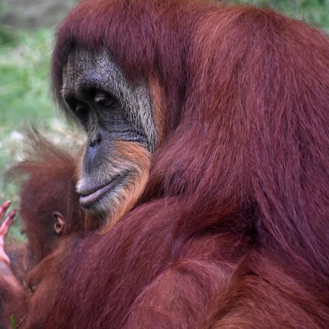 """Orangutan - Mother and Child"" stock image"