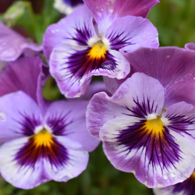 """Lavender Pansies"" stock image"