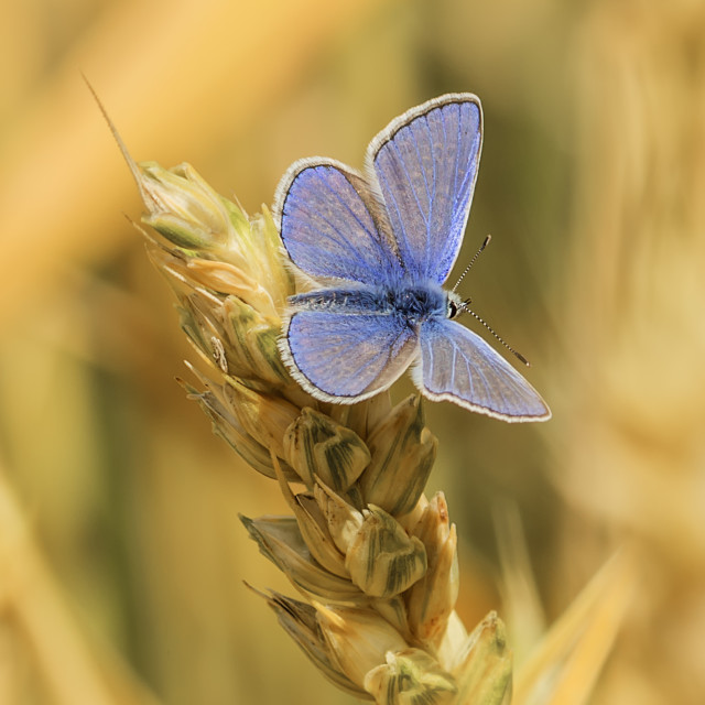 """""""A Common Blue Butterfly"""" stock image"""