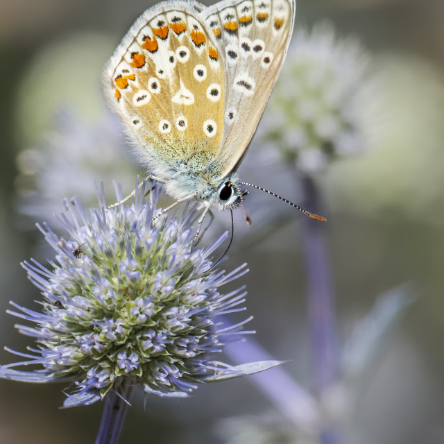 """""""Chalkhill Blue Butterfly"""" stock image"""