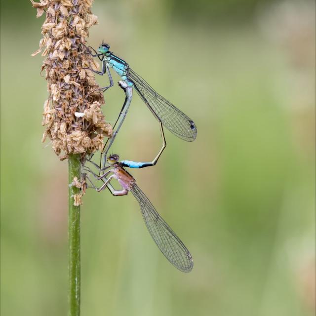 """Mating Blue Tailed Damseflies"" stock image"