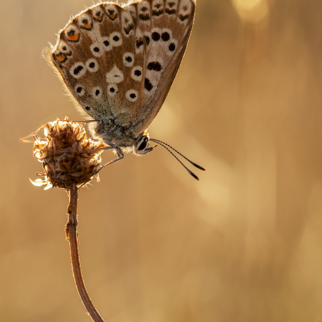 """""""Chalkhill Blue Butterfly Backlit at Sunset"""" stock image"""