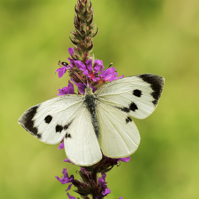"""""""Large White Butterfly"""" stock image"""