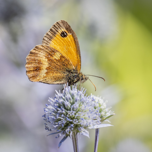 """""""Meadow Brown Butterfly"""" stock image"""