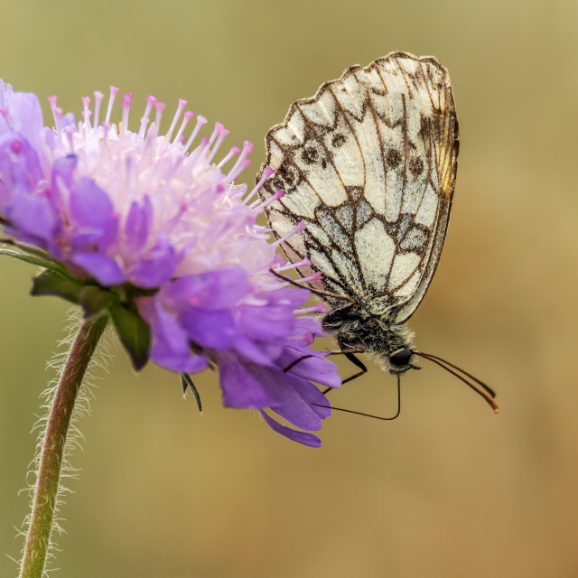 """""""Marbled White Butterfly on Scabious"""" stock image"""