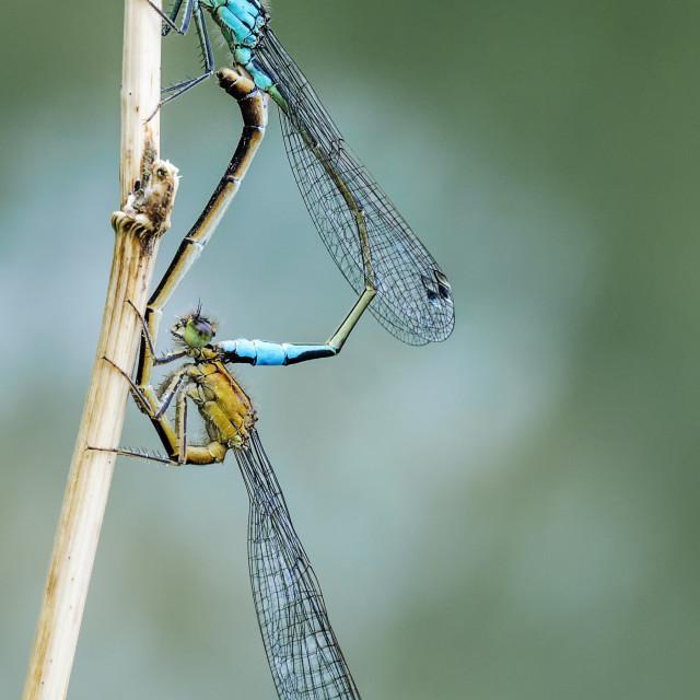 """Blue Tailed Damselflies Mating"" stock image"