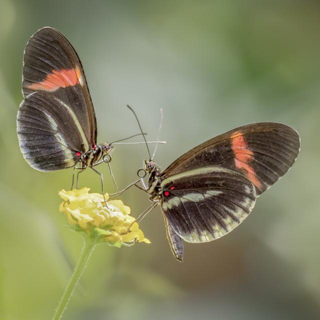 """Postman Butterflies Feeding"" stock image"