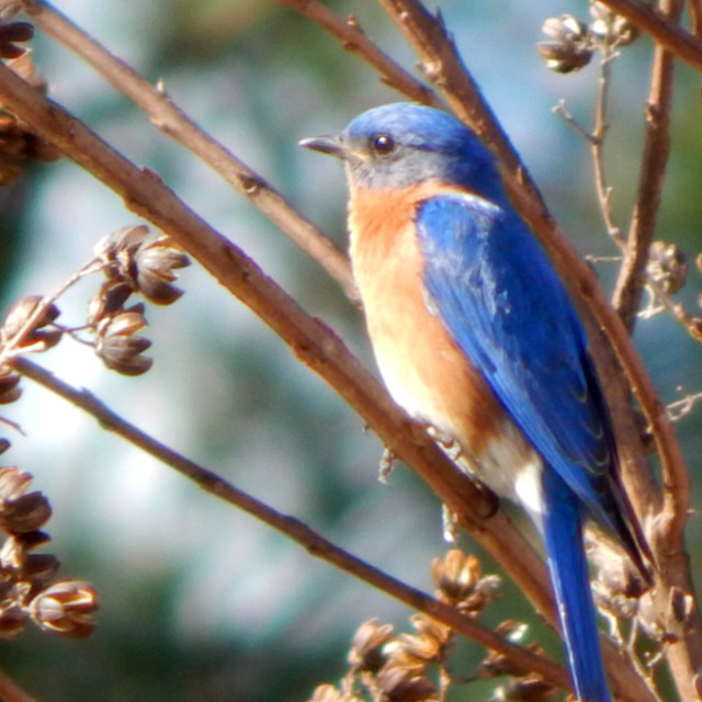 """""""Eastern Bluebird on a Grapevine"""" stock image"""