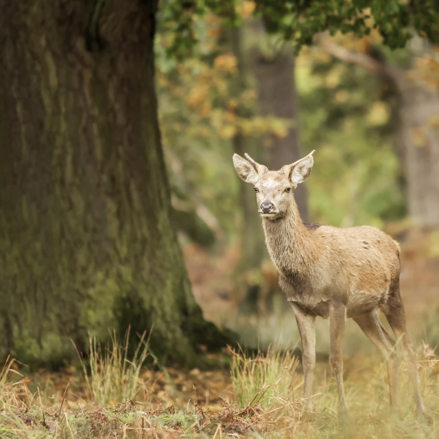 """""""Young Red Deer"""" stock image"""