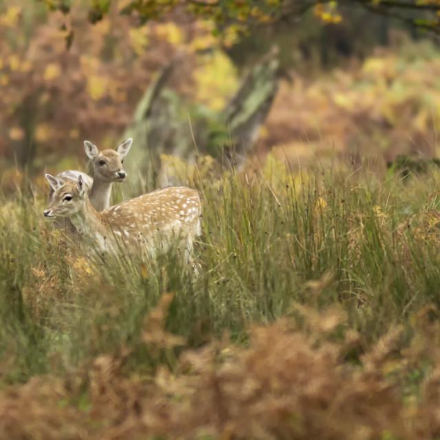 """Fallow Deer in Grass"" stock image"