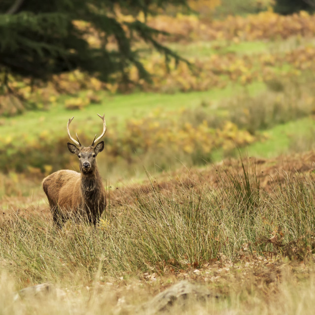 """""""Young Red Deer Stag"""" stock image"""