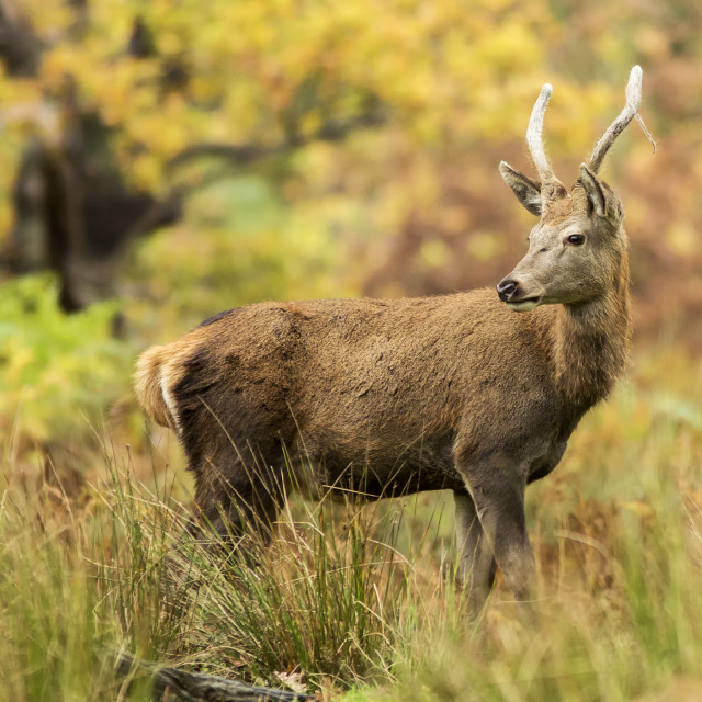 """""""Young Red Stag"""" stock image"""