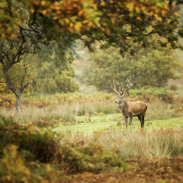 """""""Lone Stag"""" stock image"""