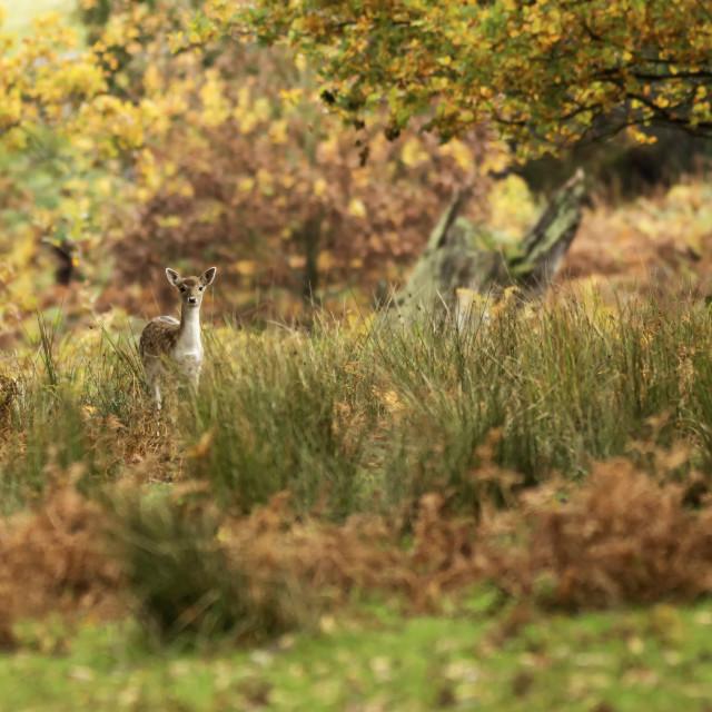 """""""Female Fallow Deer"""" stock image"""