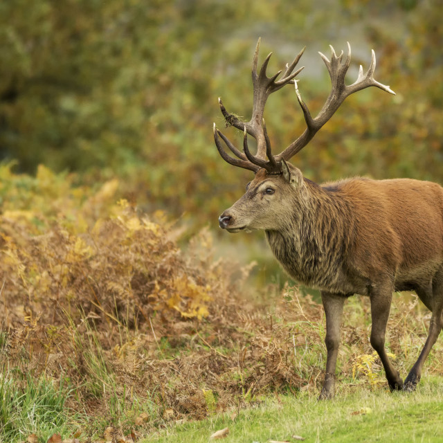 """""""Red Stag walking"""" stock image"""