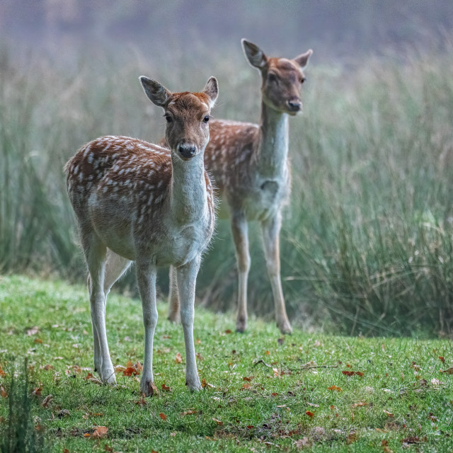 """""""Fallow Deer in the Mist"""" stock image"""
