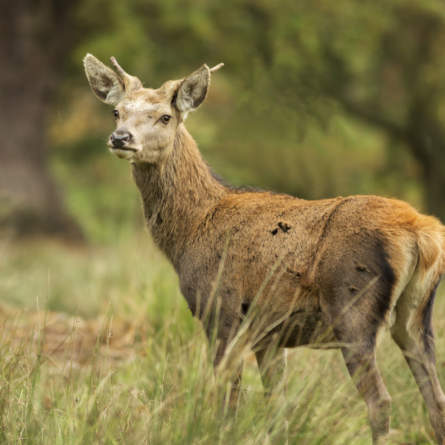 """""""Young Buck in Grass"""" stock image"""