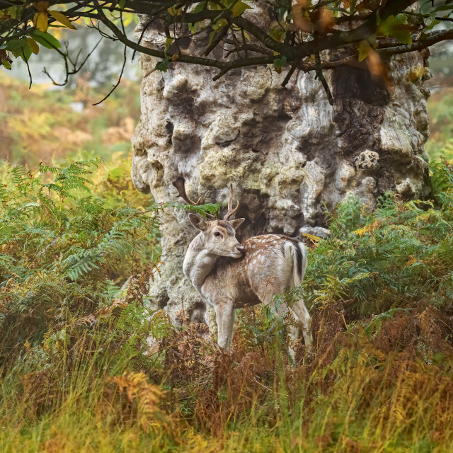 """""""Fallow Stag and the Gnarled Tree"""" stock image"""