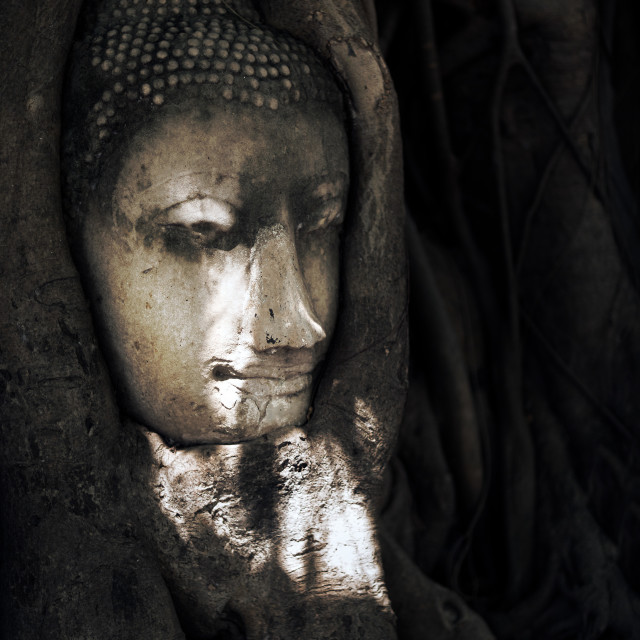 """""""Buddha Head Sits in Growing Tree Roots"""" stock image"""
