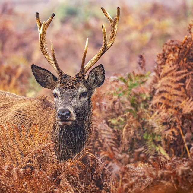 """""""Red Stag in Bracken"""" stock image"""