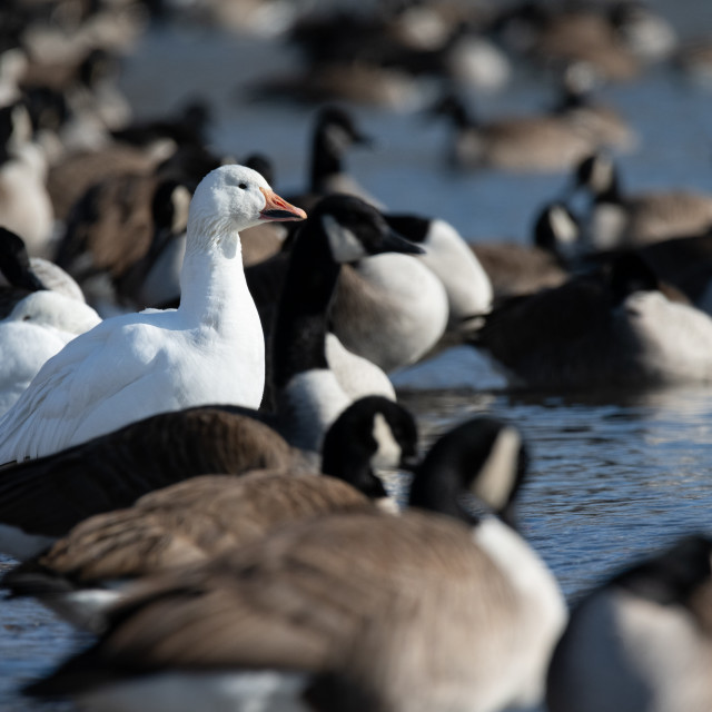 """Two Snow Geese Hanging Out With Canada Geese"" stock image"
