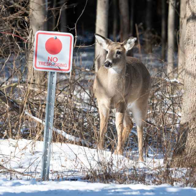 """White-tailed Deer Ignoring No Trespassing Sign"" stock image"