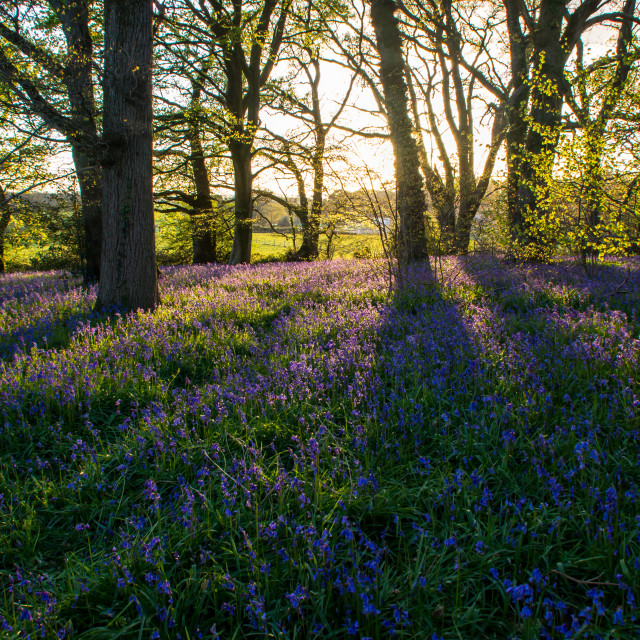 """""""Bluebell Wood at Sunset"""" stock image"""