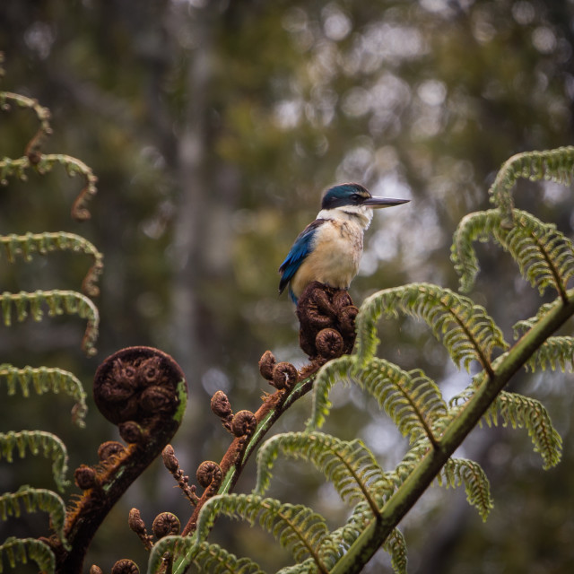 """""""New Zealand Sacred Kingfisher/kōtare perched on fern frond"""" stock image"""
